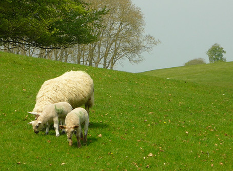 Lambs of Blenheim