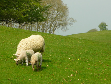 Lambs of Blenheim