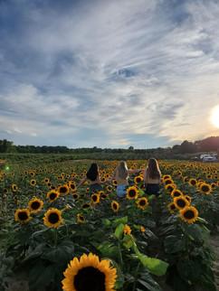 Westview Orchards Sunflower field 3 girl