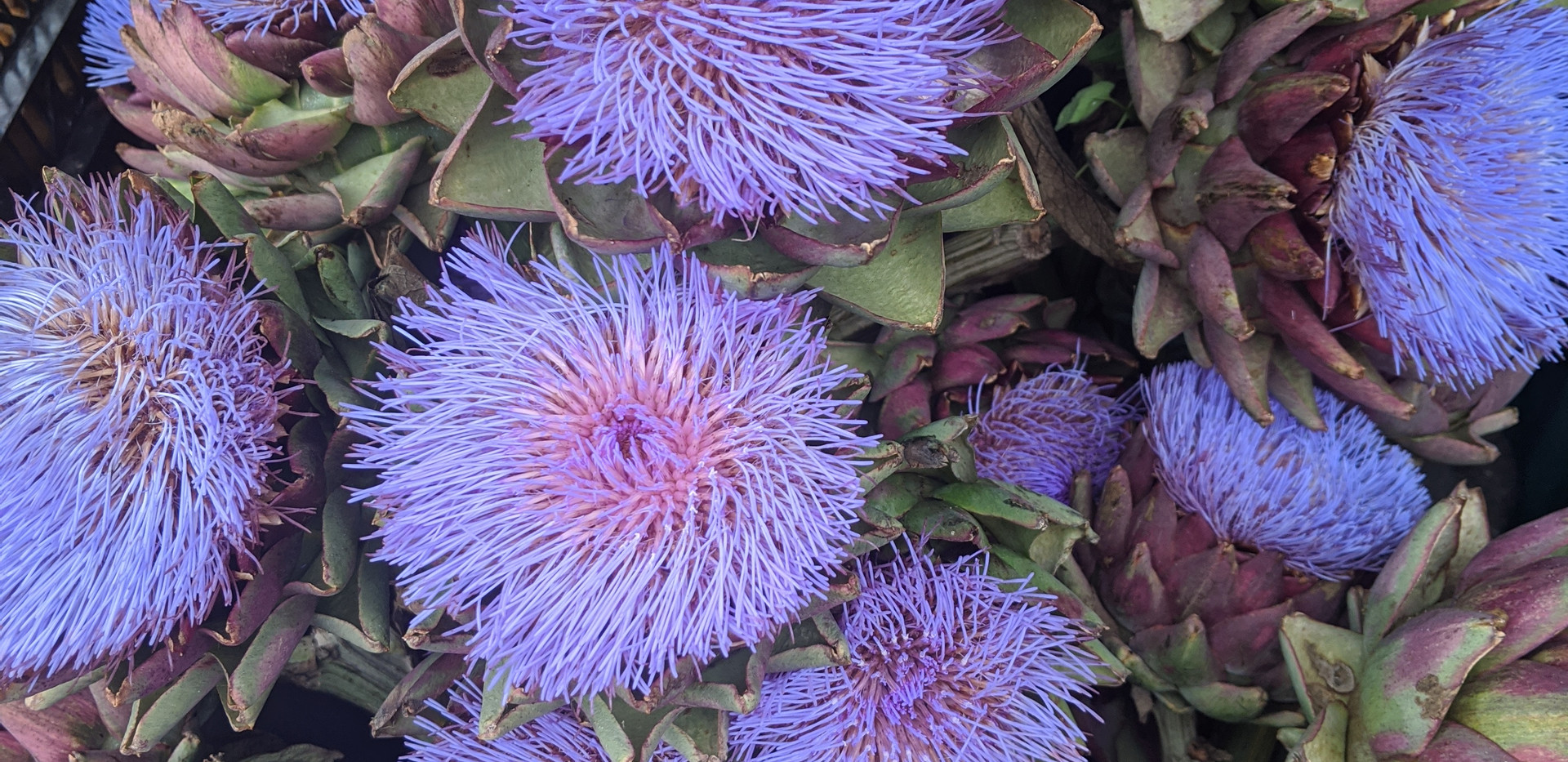 Artichokes with Blooms