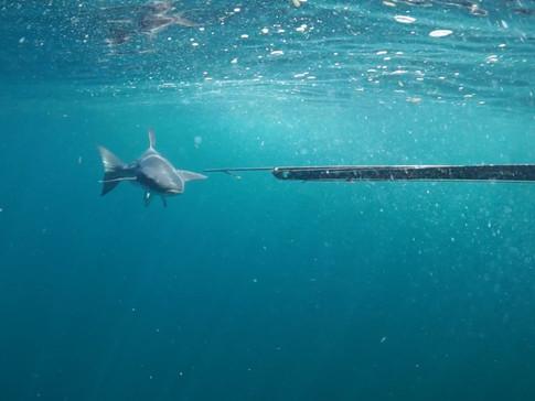 Spearfishing the Oil Rigs in Port Fourchon, LA