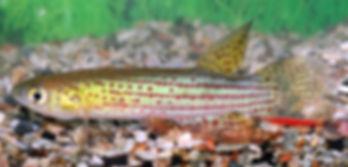 Melanorivulus rubromarginatus