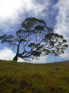 Hawaiian Koa Wood
