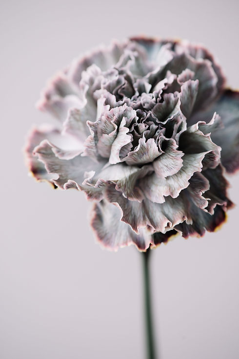 Beautiful blossoming single Black Molly