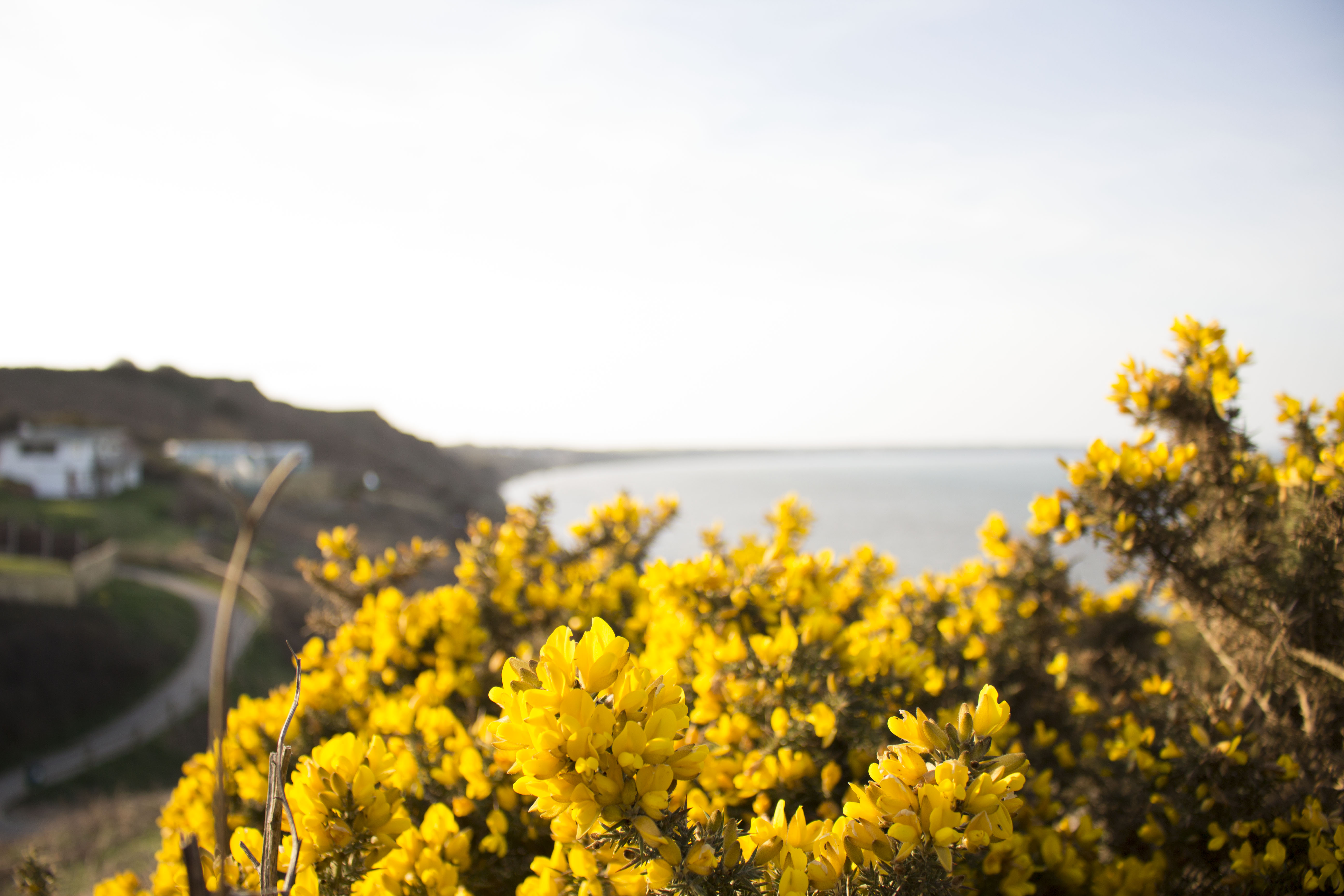 The gorse is looking good in the sunshine
