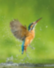 Kingfisher_Jamie Hall.jpg
