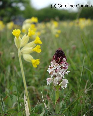 Burnt tip orchid leyburn old glebe may 2