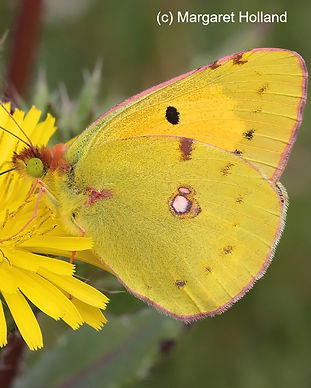 Clouded yellow_Margaret_Holland_edited.j