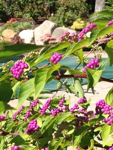 Beauty berry.JPG