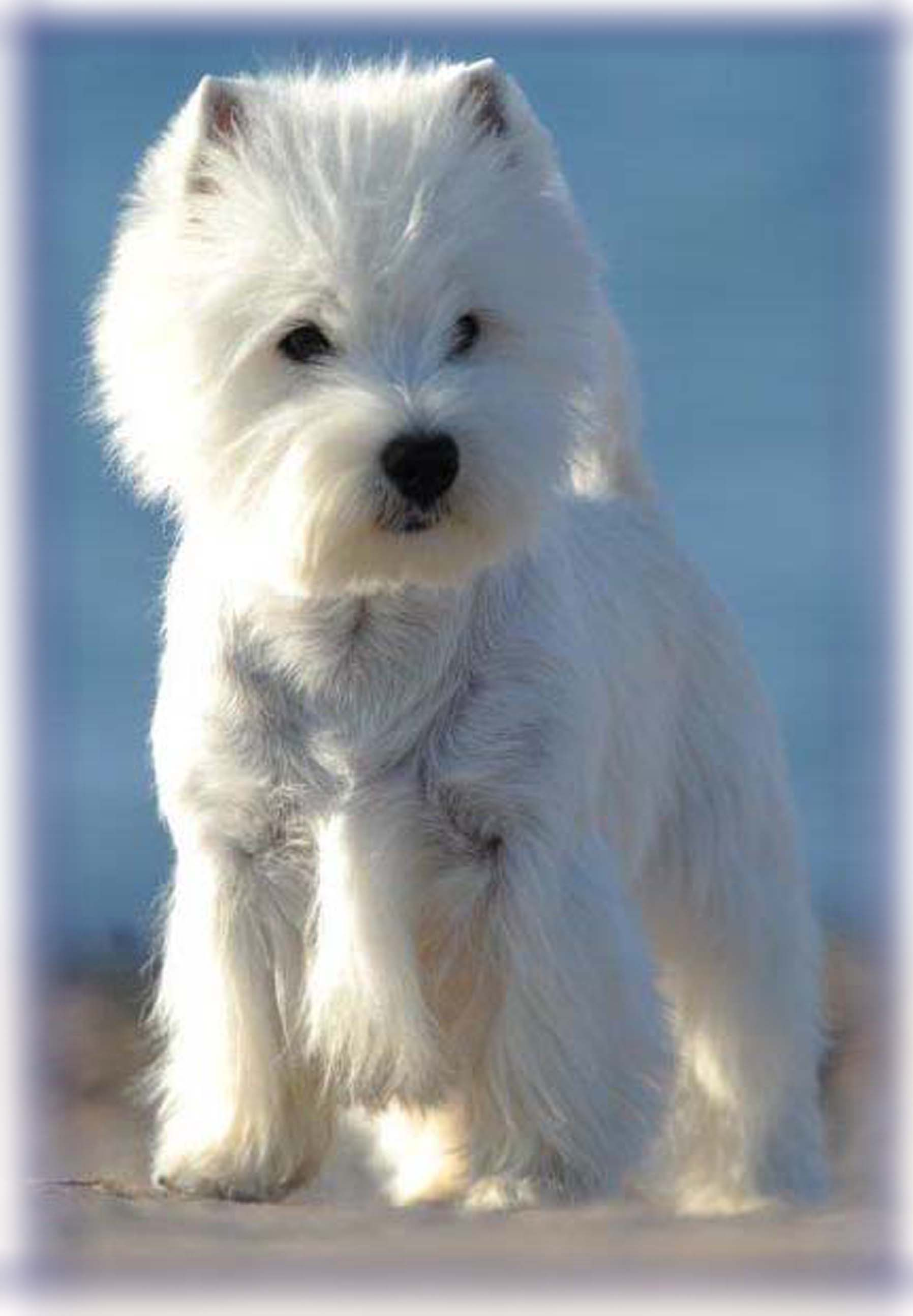 wildwood-westies | Show News
