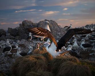 Photograph by Matthew Newton Albatross: The world ofTasmania's mysterious shy albatross