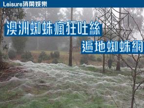 【消閑娛樂 澳洲蜘蛛瘋狂吐絲 • 遍地蜘蛛網】