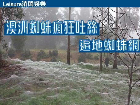 【消閑娛樂|澳洲蜘蛛瘋狂吐絲 • 遍地蜘蛛網】