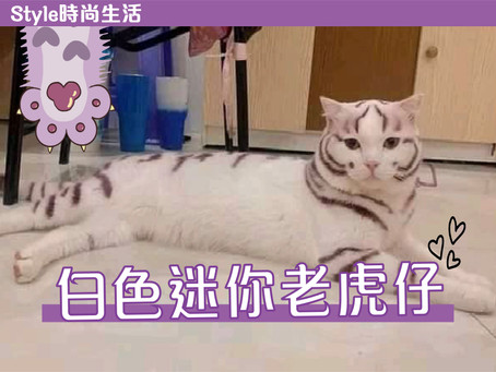 🤍【時尚生活 愛貓一族  • 白色迷你老虎仔】🤍