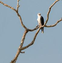 Black-and-White Hawk-Eagle s.jpg