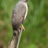 Roadside Hawk s.jpg