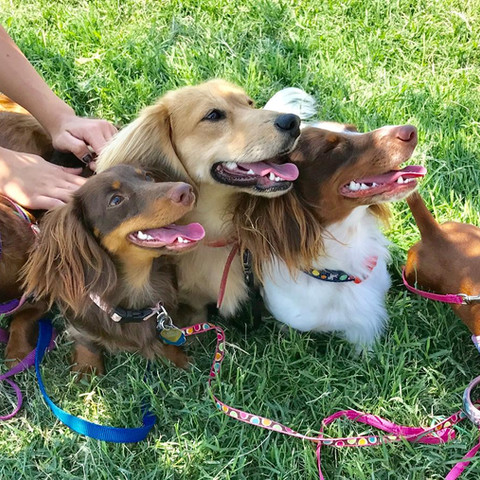 family beagle puppies