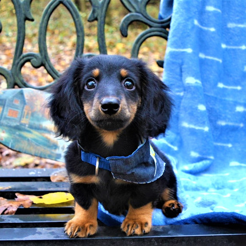 The Dachshund Personality