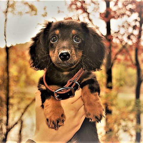 toy miniature dachshund