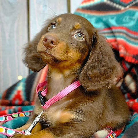Home Of The Miniature Dachshund Puppy