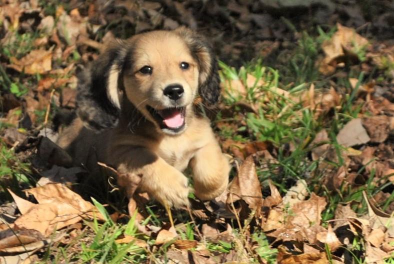 AKC Miniature Dachshund puppies.