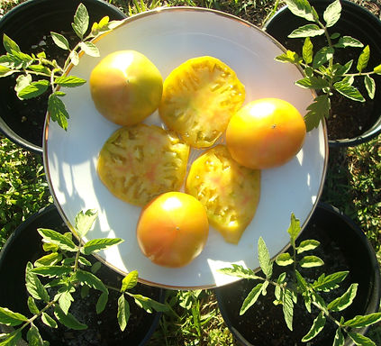tomato yellow.JPG