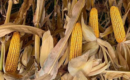Bruce corn 10-18-21 (2).jpg