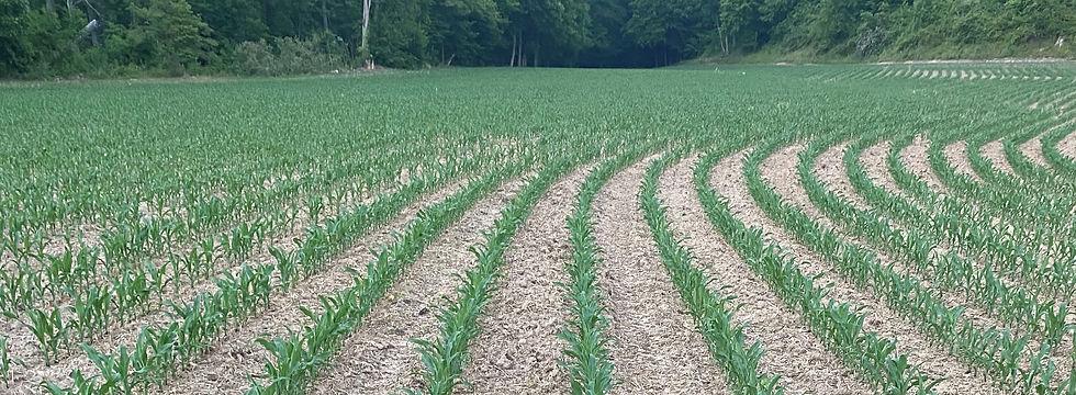 wallace corn 6-6-21.jpg
