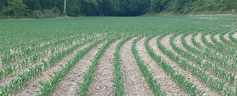 wallace corn 6-6-21_edited.jpg