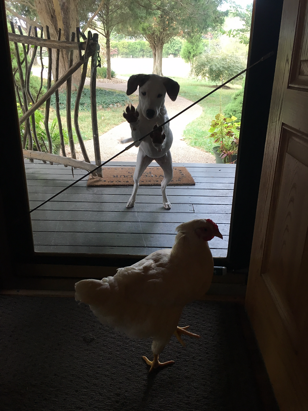 Our pup Maggie in a state of  confusion why she was outside and the chicken was inside.