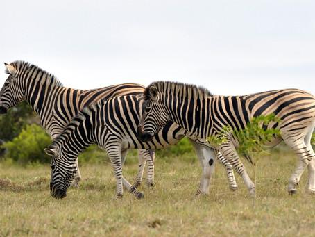 A Zebra for Decor
