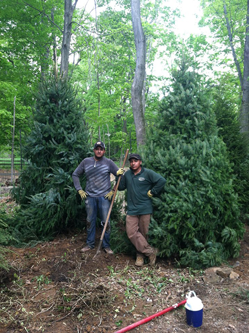 Plantings to replace storm damage
