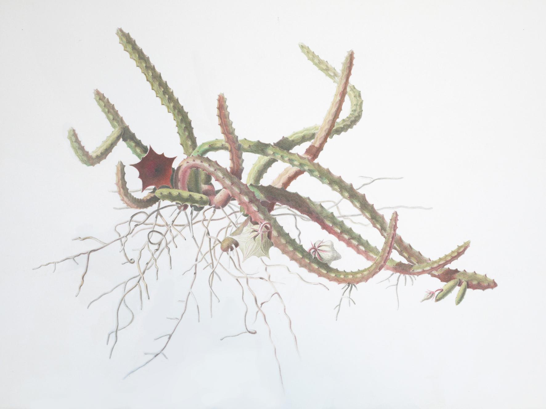 4_Seidenpflanzengewaechs