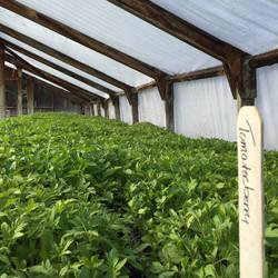Organic tomato berry plants