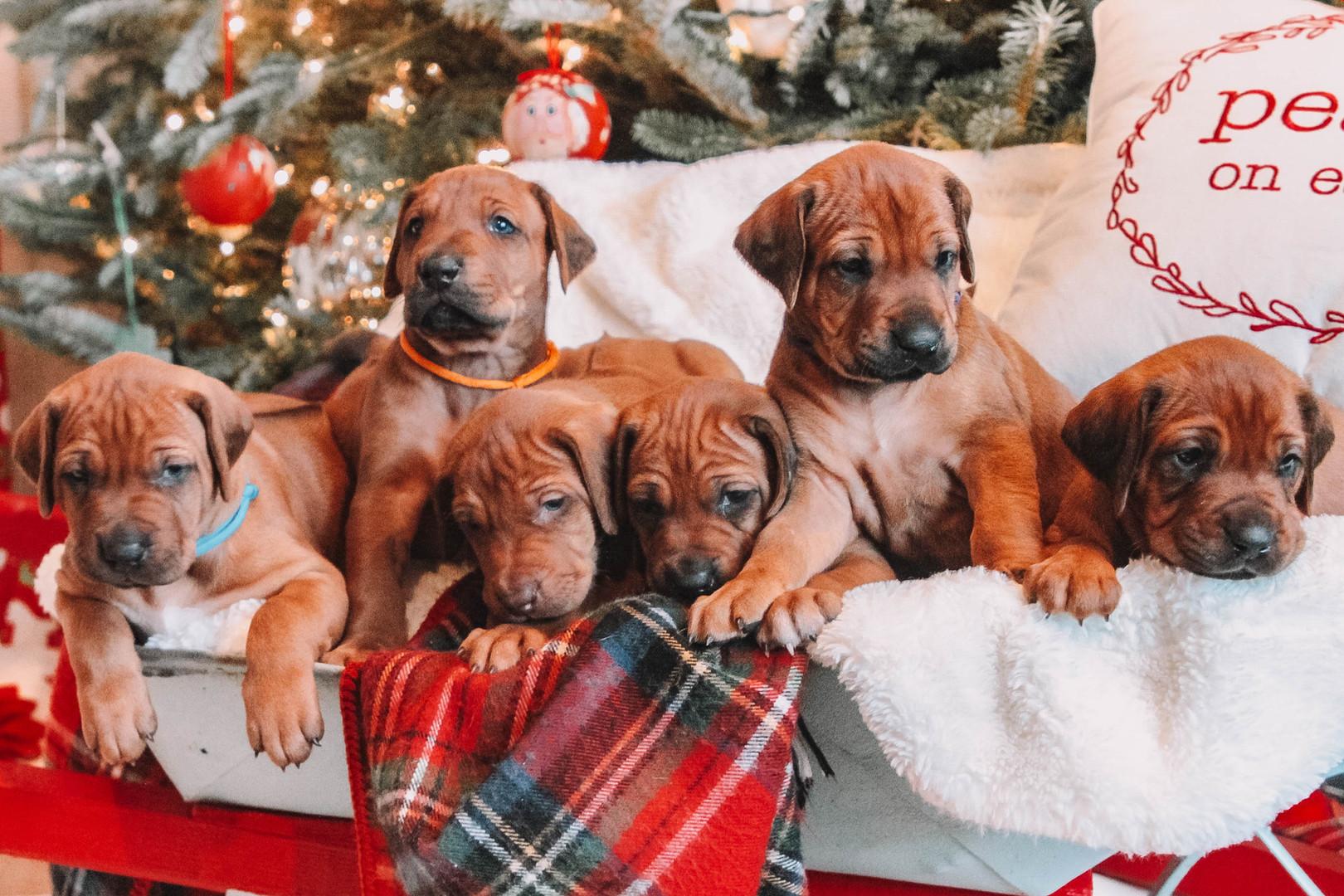 XMas Pups (11).jpg