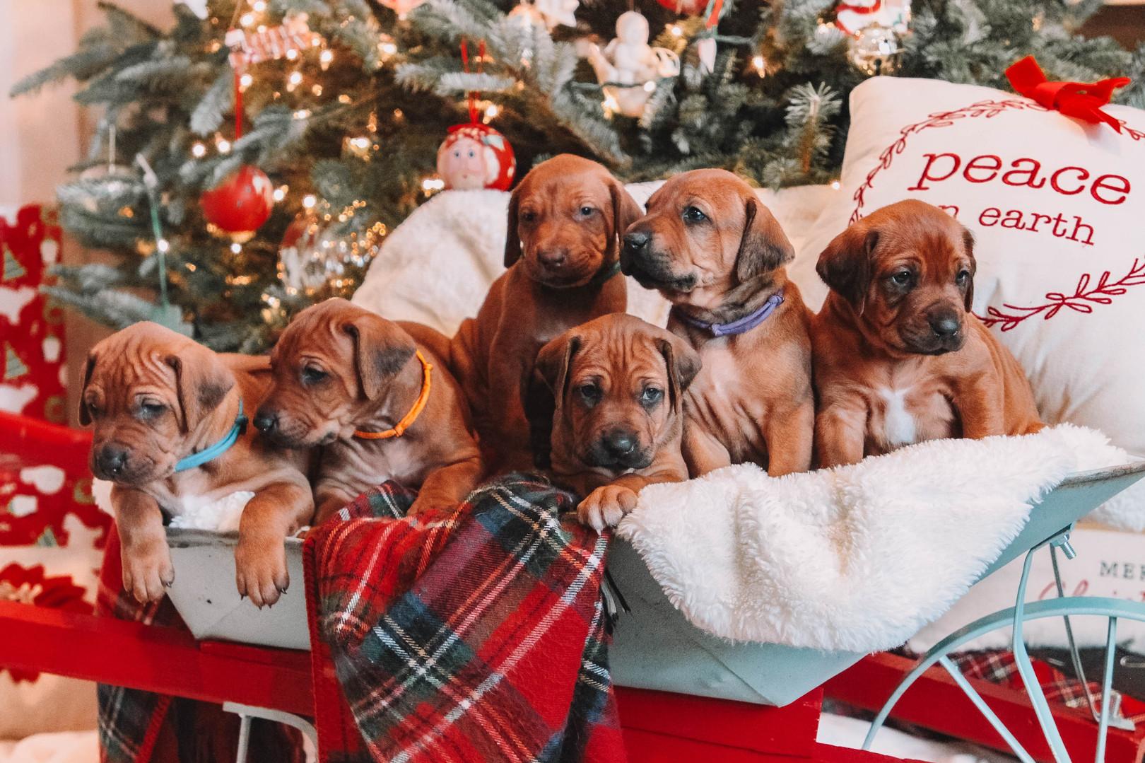 XMas Pups (15).jpg