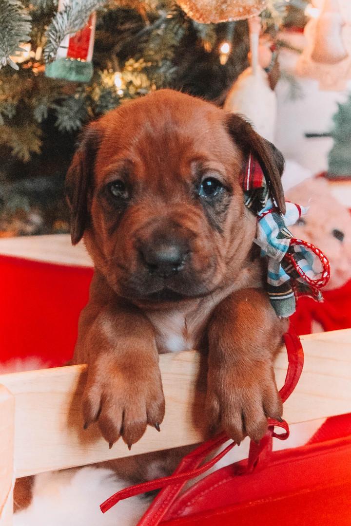 XMas Pups (22).jpg