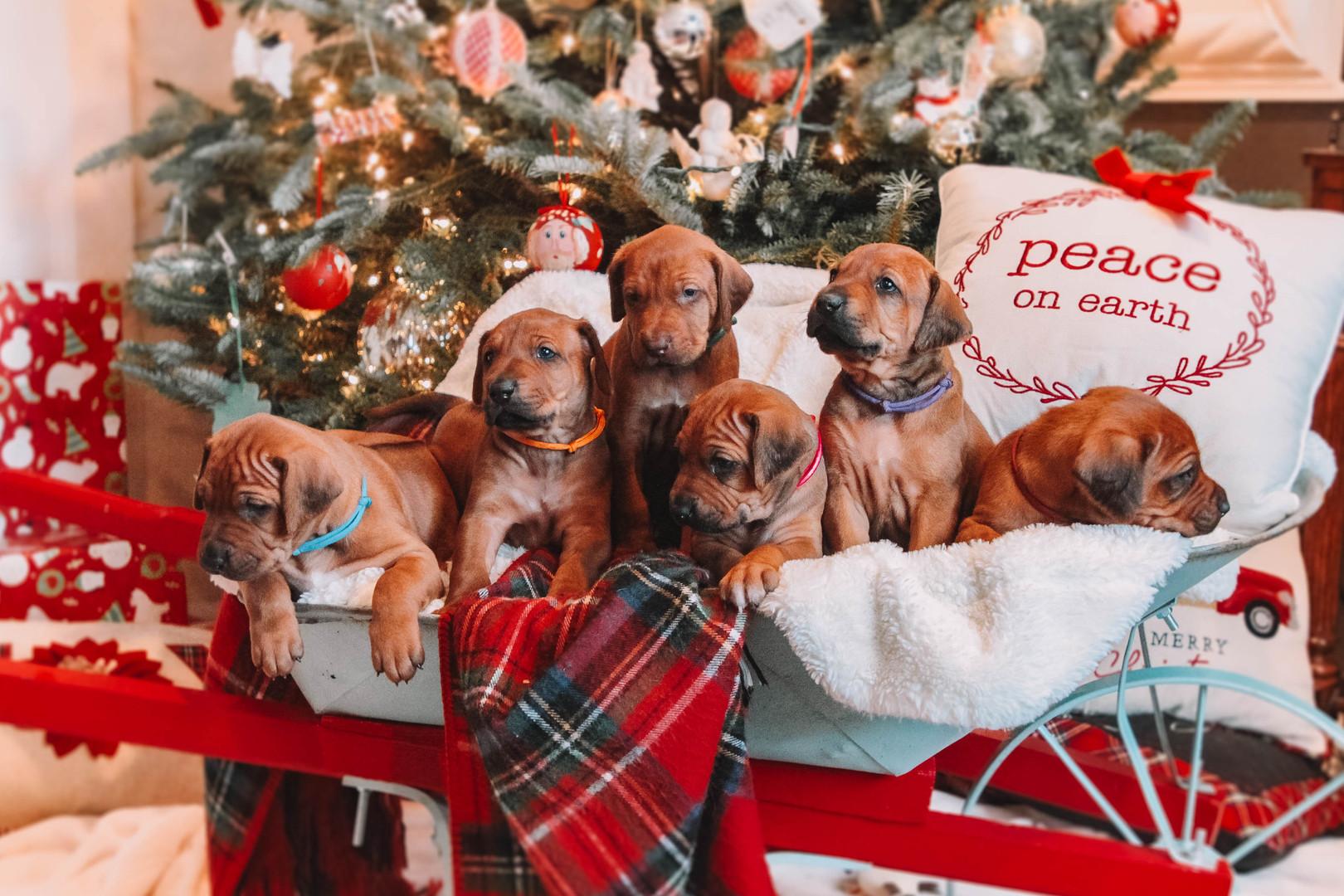 XMas Pups (17).jpg