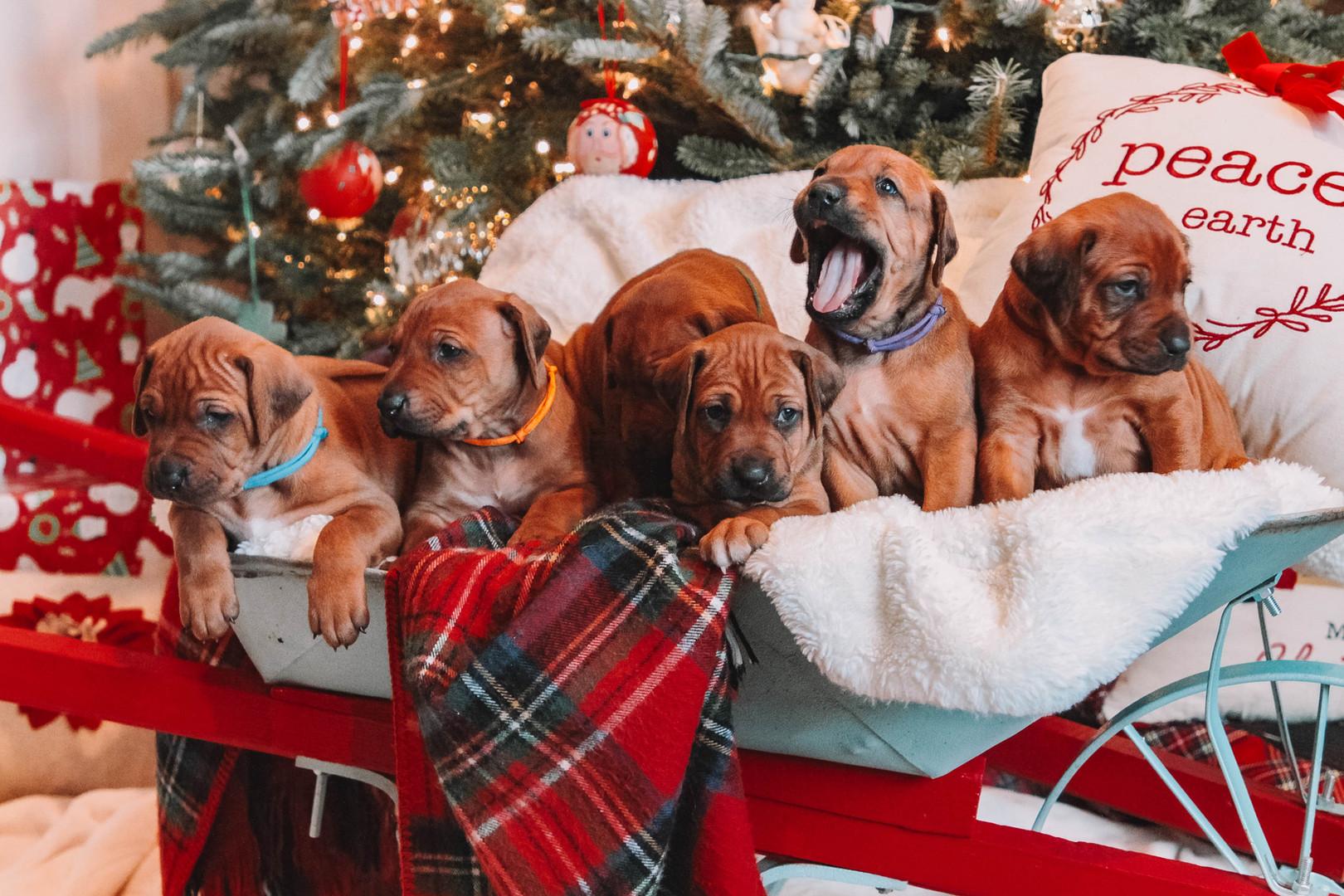 XMas Pups (14).jpg