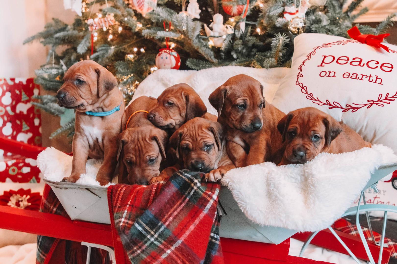 XMas Pups (8).jpg