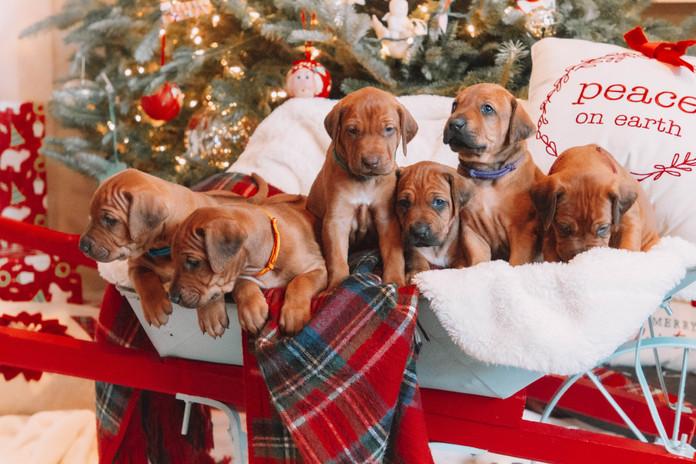 XMas Pups (19).jpg