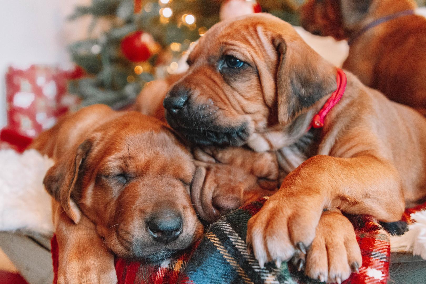 XMas Pups (4).jpg