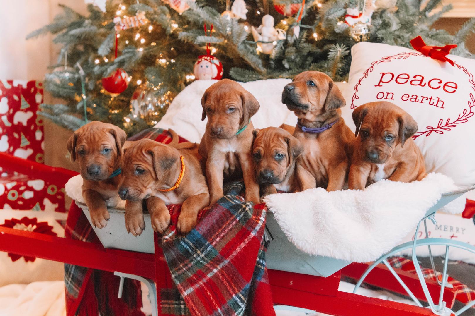 XMas Pups (18).jpg