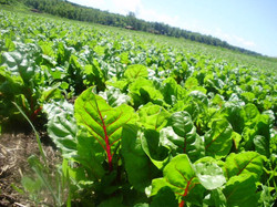 Swiss Chard growing on our farm