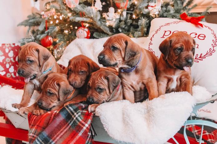 XMas Pups (6).jpg