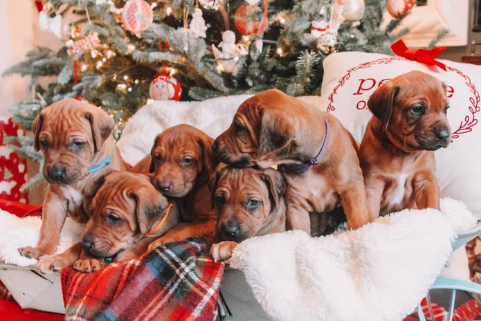 XMas Pups (7).jpg