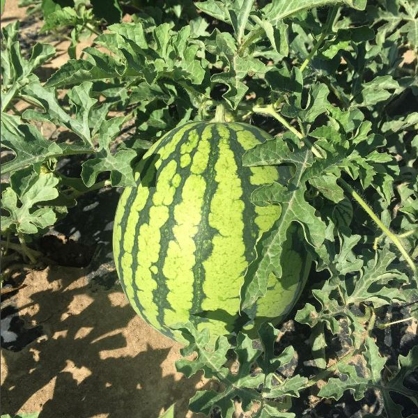 oganic watermelon