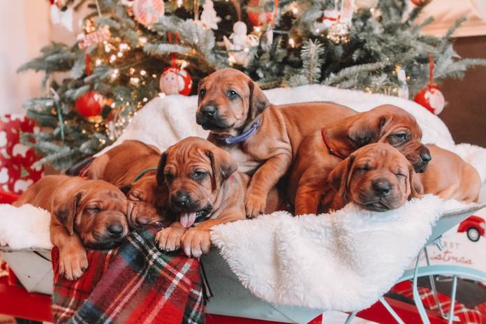 XMas Pups (5).jpg