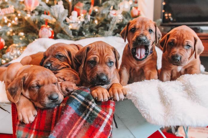 XMas Pups (2).jpg