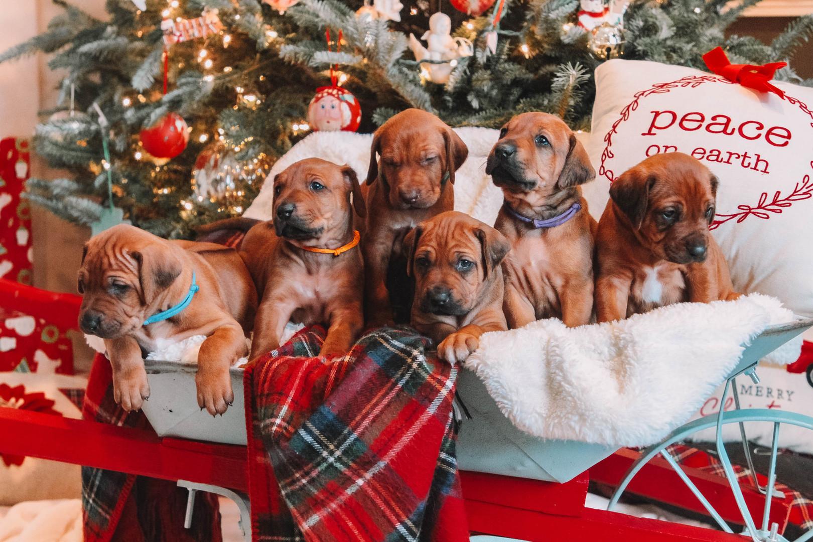 XMas Pups (16).jpg